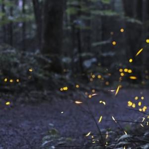 fireflies-2